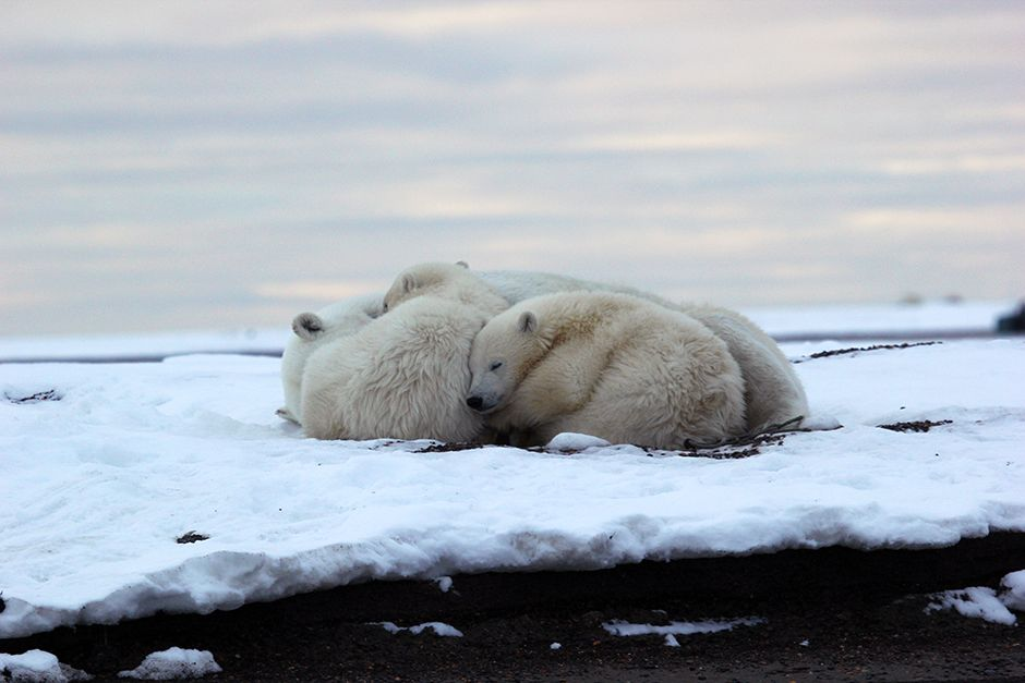 Kaktovik, Barter Island, Alaska, USA: Two polar bear cubs snuggle up to their mom before nightfal... [Фото дня - Июль 2014]