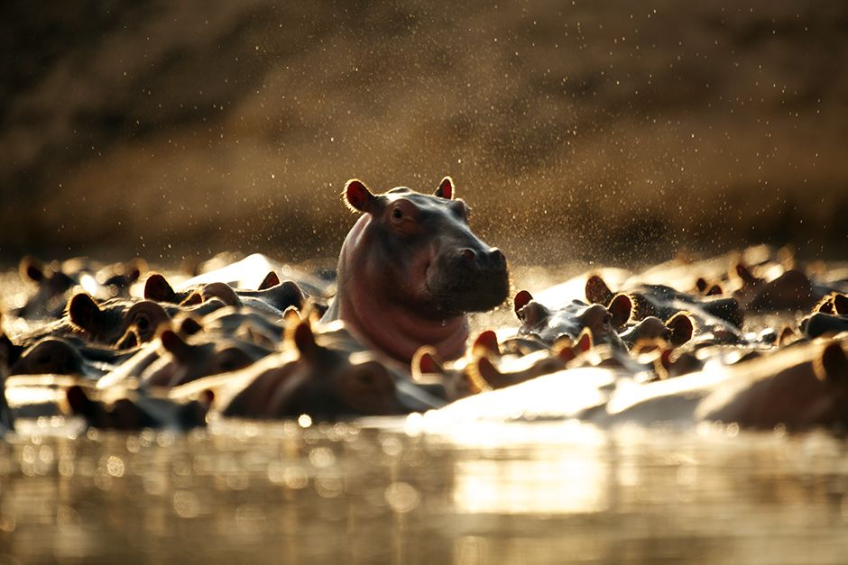Les bancs d'hippopotames peuvent atteindre 80 à 800 membres, gardés par un mâle dominant. Du... [Photo of the day - juillet 2014]