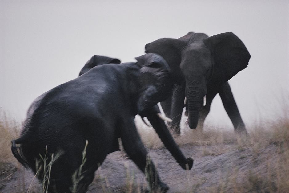 An elephant matriarch clashes with an intruder near the Chobe River in Chobe National Park. Botsw... [Dagens foto - augusti 2011]