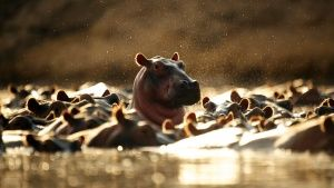 Hippo pods can reach numbers ranging ... [Photo of the day -  9 JULHO 2014]