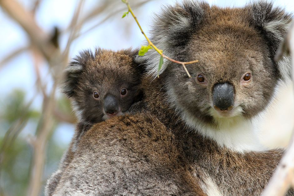 Victoria, Australia: There is only one species of koala (Phascolarctos cinereus). Koalas are foun... [Фото дня - Июль 2014]