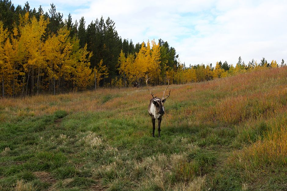Whitehorse, Yukon:  A lone caribou at the Yukon Wildlife Preserve. This image is from Yukon Vet. [Photo of the day - ژولیه 2014]