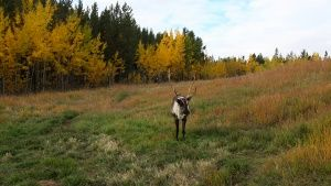 Whitehorse, Yukon:  A lone caribou at... [Фото дня - 14 ИЮЛЬ 2014]