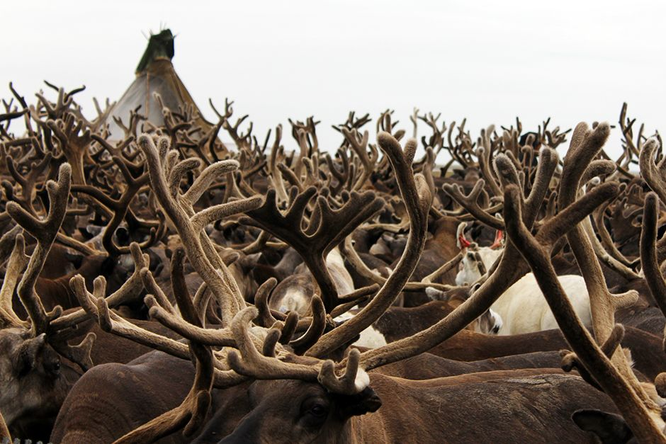 Yamal province, Russia: Reindeer antlers, August 2013. This image is from Mammoths Unearthed. [Фото дня - Июль 2014]
