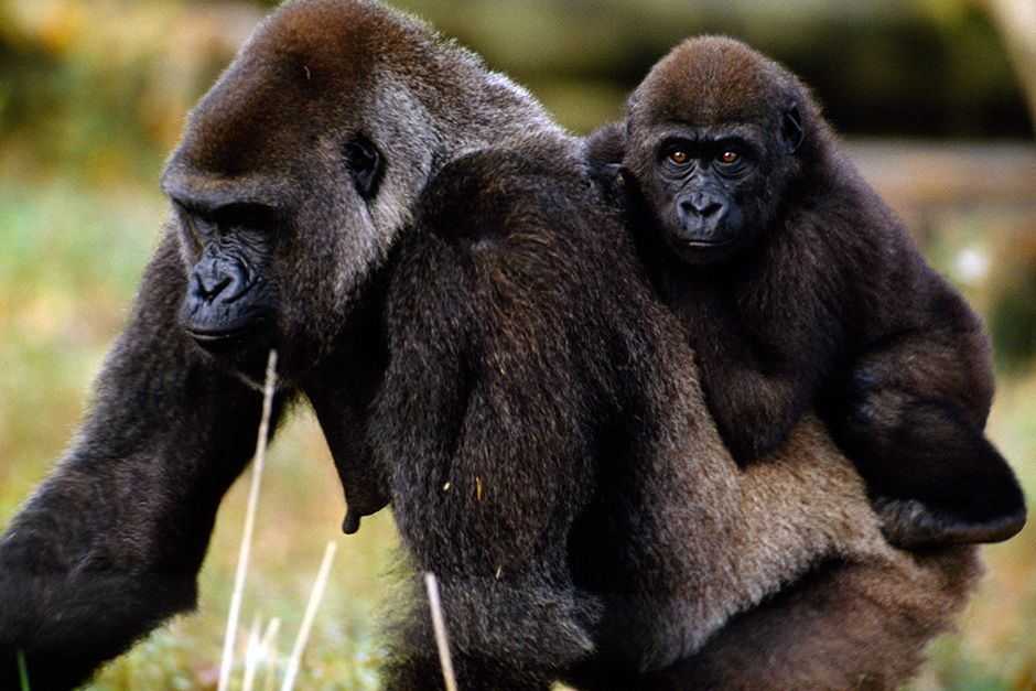 Democratic Republic of Congo: Young western low-land gorilla riding on its mothers back. This ima... [Zdjęcie dnia - lipca 2014]