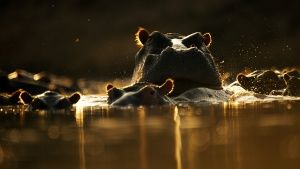 Hippo pods can reach numbers ranging ... [Photo of the day - 21 ژولیه 2014]