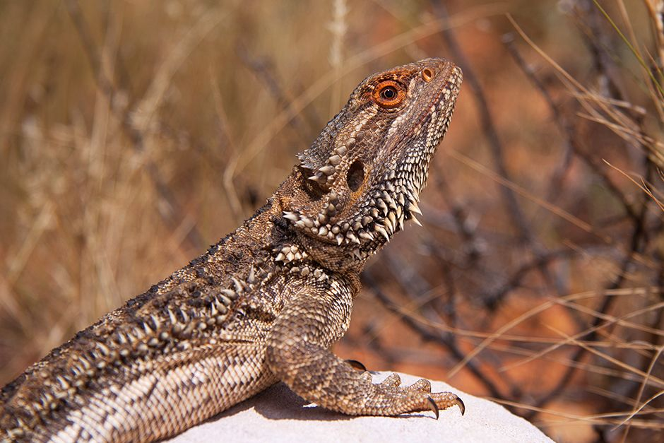 The central bearded dragon (Pogona vitticeps) is a species of agamid lizard occurring in a wide r... [Photo of the day - Julho 2014]