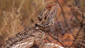 Bradata agama (Pogona vitticeps) je v... [Photo of the day - 22 JULIJ 2014]