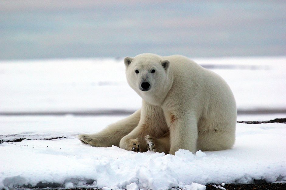 Kaktovik, Barter Island, Alaska, USA: A polar bear in Kaktovik. This image is from Die Trying. [Фото дня - Июль 2014]