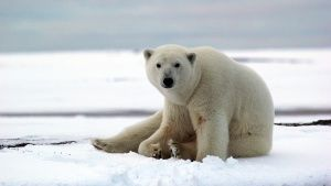 Kaktovik, Barter Island, Alaska, USA: A polar bear in Kaktovik. This image is from Die Trying. Фото дня - 26 Июль 2014