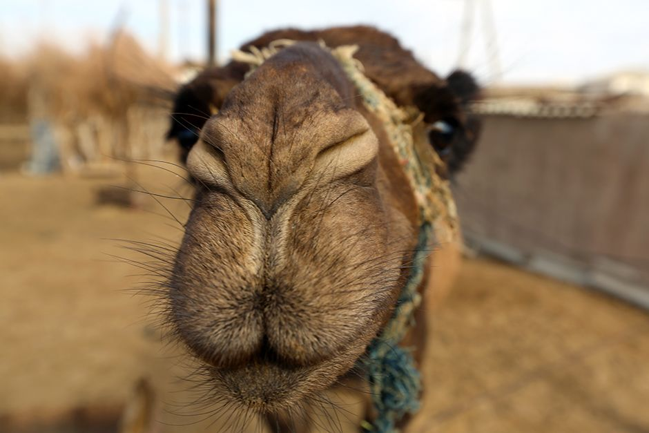 Darvaza, Karakum Desert, Turkmenistan: Indigenous camel selfie at the Darvaza Crater. This image ... [Фото дня - Июль 2014]