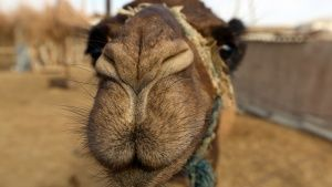 Darvaza, Karakum Desert, Turkmenistan: Indigenous camel selfie at the Darvaza Crater. This image ... Photo of the day - July 30, 2014