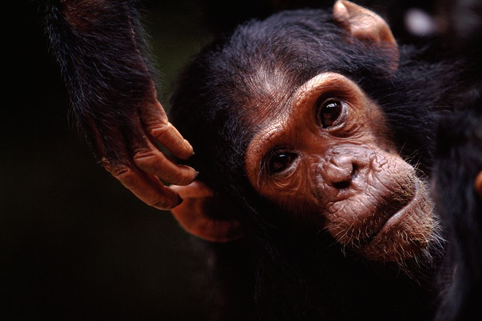 Close up of Faustino, a young member of the F Family chimp group and one of the main characters i... [Фото дня - Июль 2014]