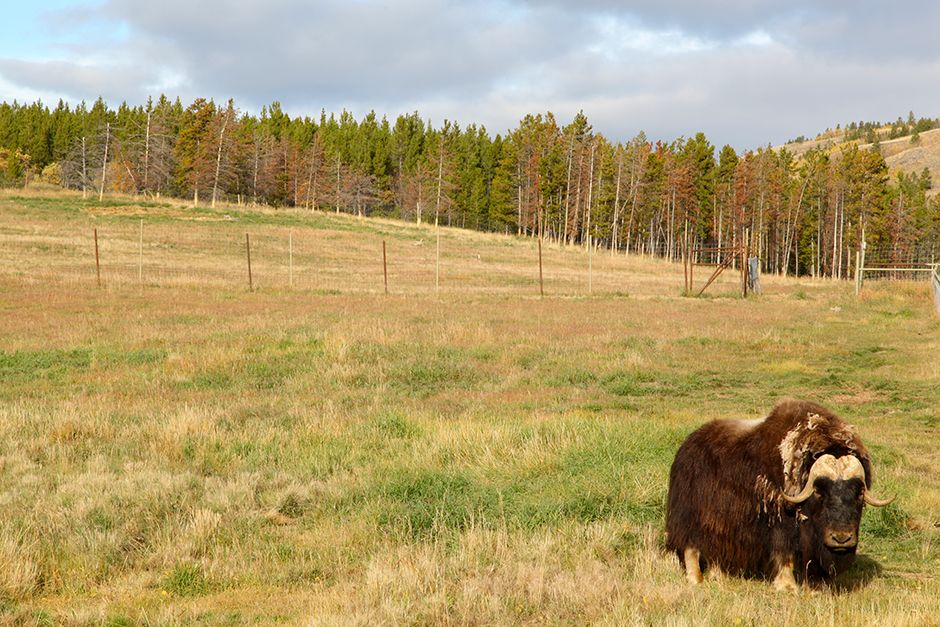 At musk-ox at the Yukon Wildlife Preserve. This image is from Yukon Vet. [Photo of the day - July 2014]