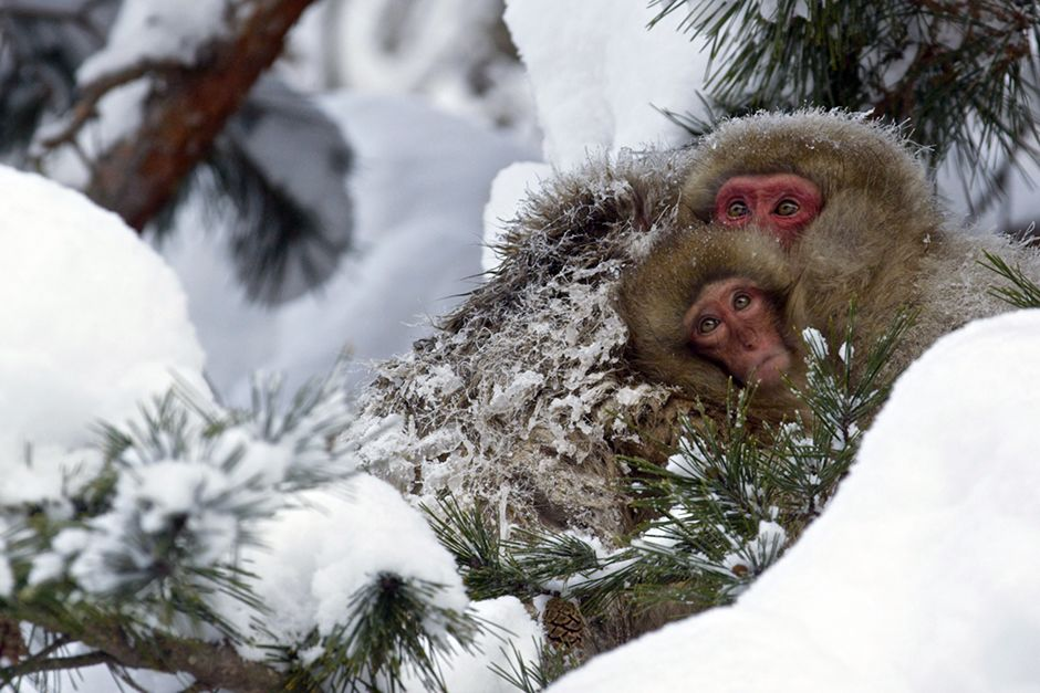 Jigokudani, Japan:  Families huddle tightly together in the trees. In the cold morning air, the... [Photo of the day - July 2014]