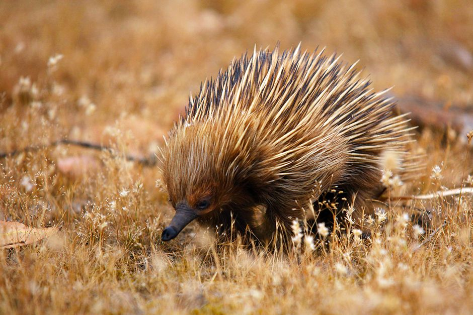 Echidna of the subspecies Tachyglossus aculeatus multiaculeatus, which is endemic on Kangaroo... [Photo of the day - July 2014]