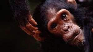 Close up of Faustino, a young member ... [Photo of the day - 31 JULY 2014]