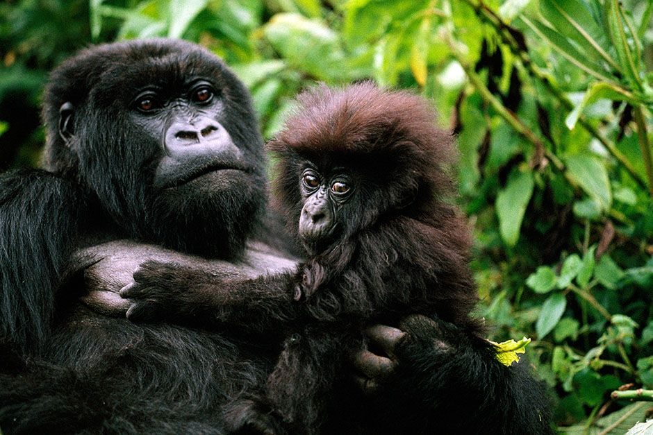 Parc des Volcans, Rwanda: A female mountain gorilla holding a baby. This image is from Kingdom... [Photo of the day - August 2014]