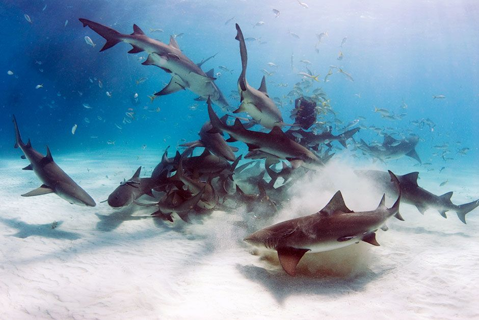 A school of lemon sharks (Negaprion brevirostris) stir up the white bottom as they scavenge for t... [Photo of the day - August 2014]