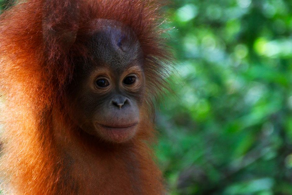 Ketapang, West Kalimantan, Indonesia: A very young orangutan in forest school as it stands on a v... [Photo of the day - August 2014]