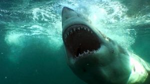 A great white shark. This image is fr... [Photo of the day - 18 AUGUSTI 2014]