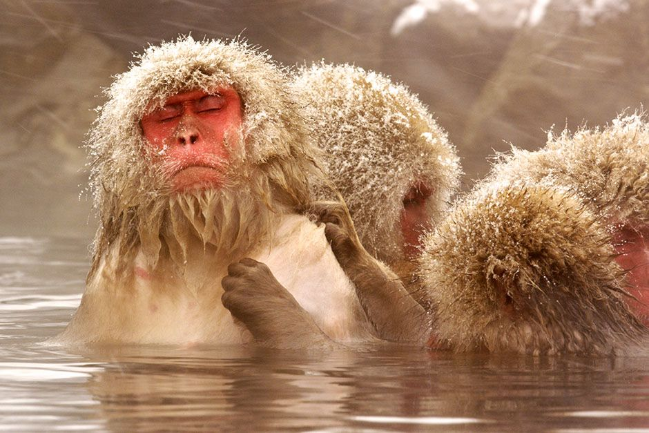 Jigokudani, Japan: Bubble relaxes with her eyes closed as another monkey gently grooms her in the... [Photo of the day - August 2014]