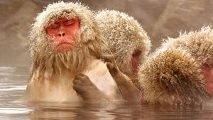 Jigokudani, Japan: Bubble relaxes with her eyes closed as another monkey gently grooms her in the... Фото дня - 20 Август 2014