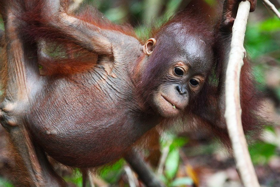 Ketapang, West Kalimantan, Indonesia: A young orangutan hanging onto a dry looking branch. This... [Photo of the day - August 2014]