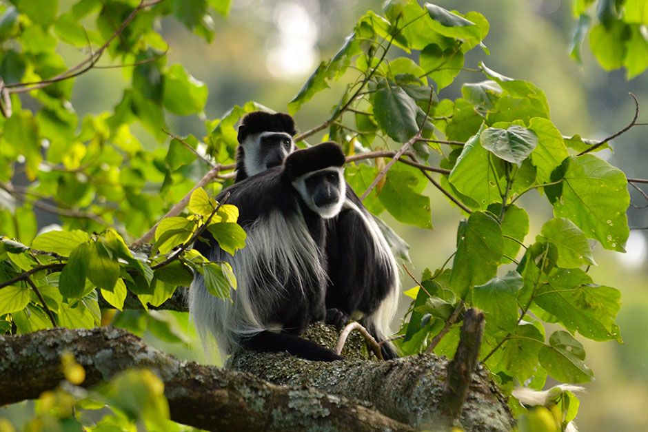 Nyungwe National Park: Angola colobus. This image is from Wild Nile. [Photo of the day - August 2014]
