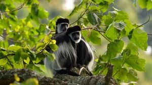 Angola colobus. Deze afbeelding komt ... [Photo of the day - 26 AUGUSTUS 2014]