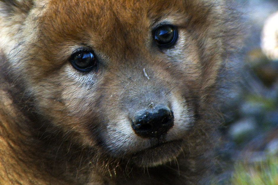 A wolf pup in Yellowstone National Park.  Wolf pups are born deaf and blind.  Their eyes open for... [Photo of the day - August 2014]