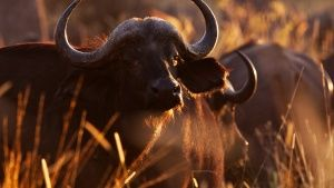 Moremi, Botswana: Cape buffalo have a... [Photo of the day - SEPTEMBER 18, 2014]