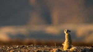 A meerkat on a ridge. This image is f... [Photo of the day - 21 سپتامبر 2014]