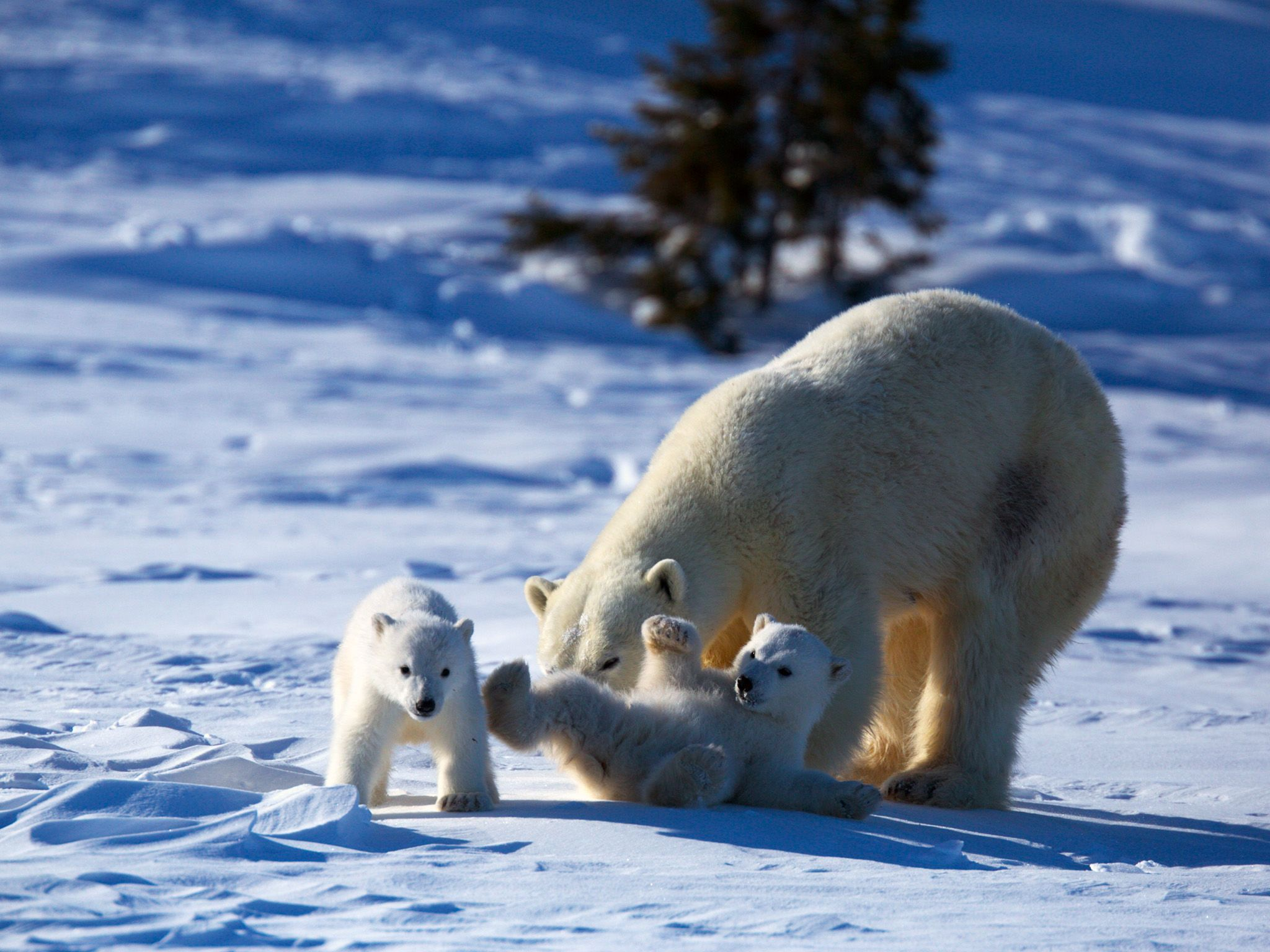 Mother polar bear and cubs. This image is from Wild Canada. [Photo of the day - اکتوبر 2014]