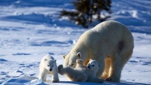 Mother polar bear and cubs. This imag... [Photo of the day -  2 OUTUBRO 2014]