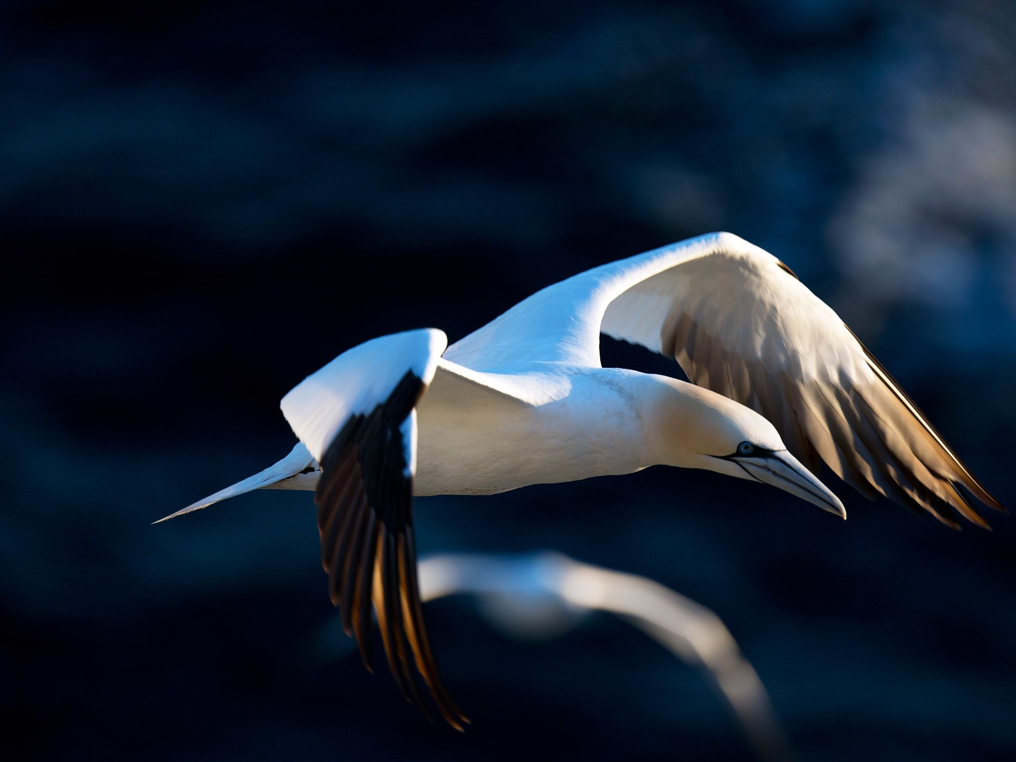 Soaring Northern gannet over nesting colony. This image is from Wild Canada.. [Photo of the day - oktober 2014]