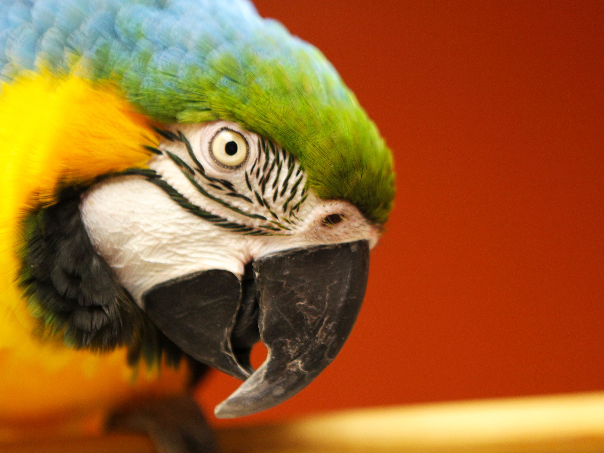 Dr. Kelleher's blue and gold macaw, Xander, sitting on a perch in the treatment room. This image ... [Photo of the day - October, 2014]