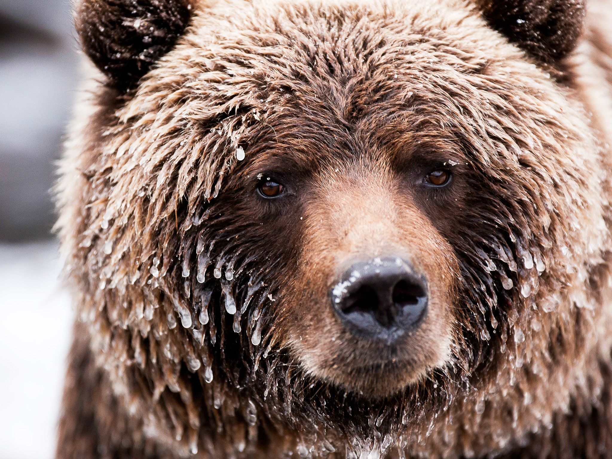 The frosted face of a brown bear (Grizzly). This image is from Wild Canada. [Photo of the day - اکتوبر 2014]