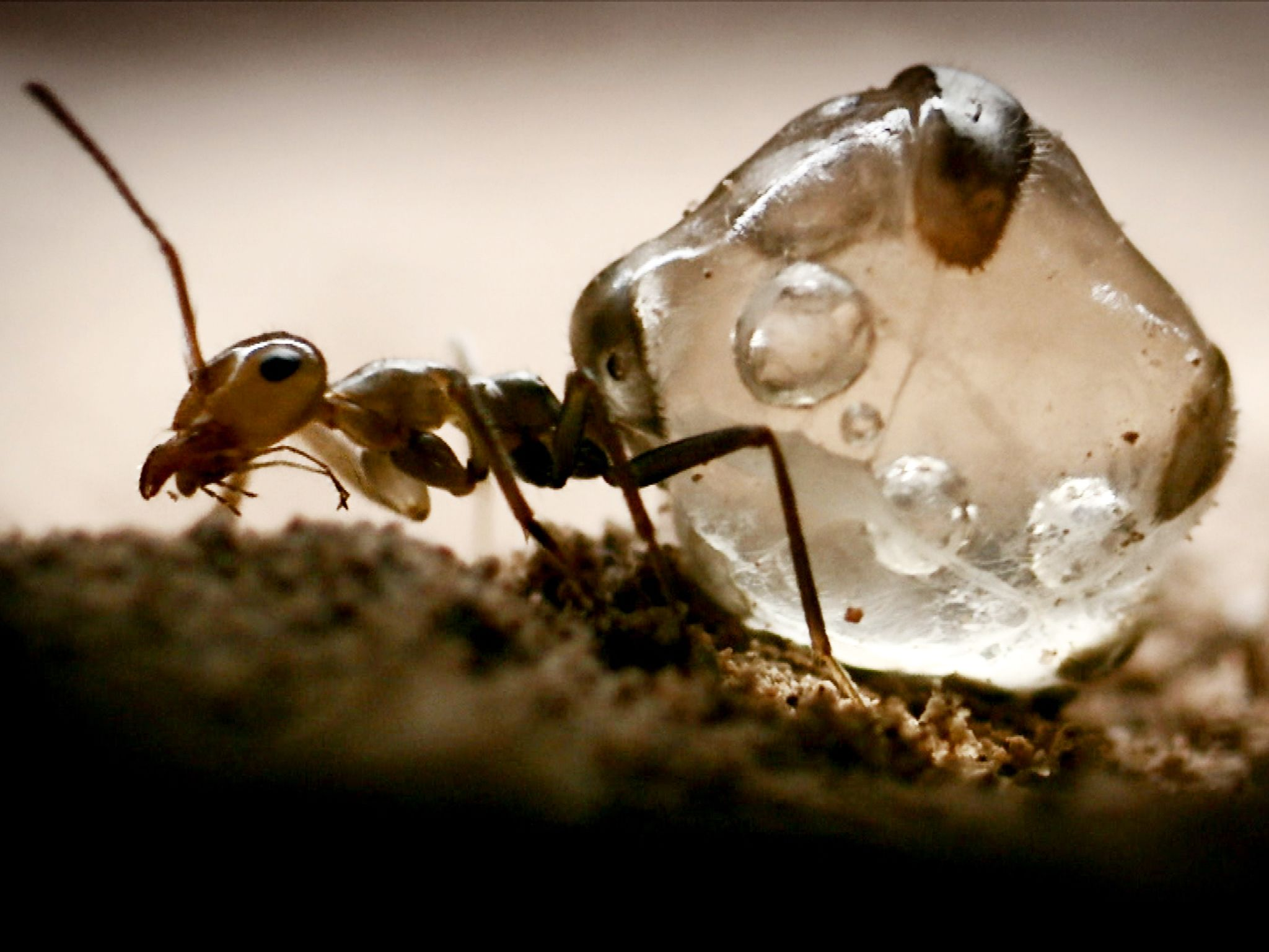 Honey ant. This image is from Secrets of the Wild. [Photo of the day - اکتوبر 2014]