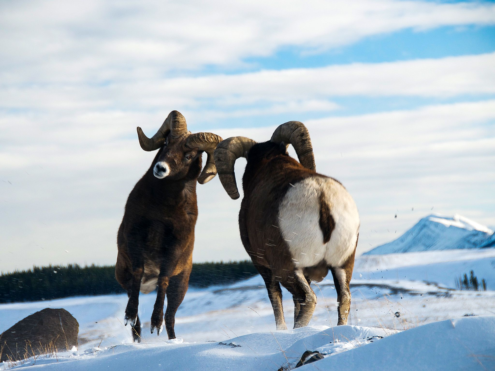 Bighorn sheep rams fight during the rutting season. This image is from Wild Canada. [Photo of the day - اکتوبر 2014]