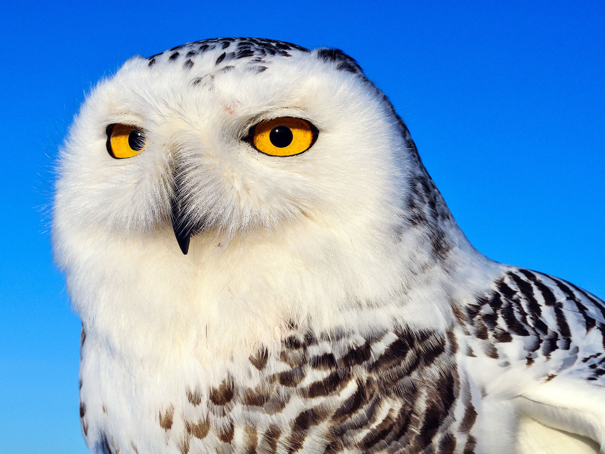 Portrait d'un hibou des neiges. Cette image est issue de Destination Wild Canada. [Photo of the day - octobre 2014]