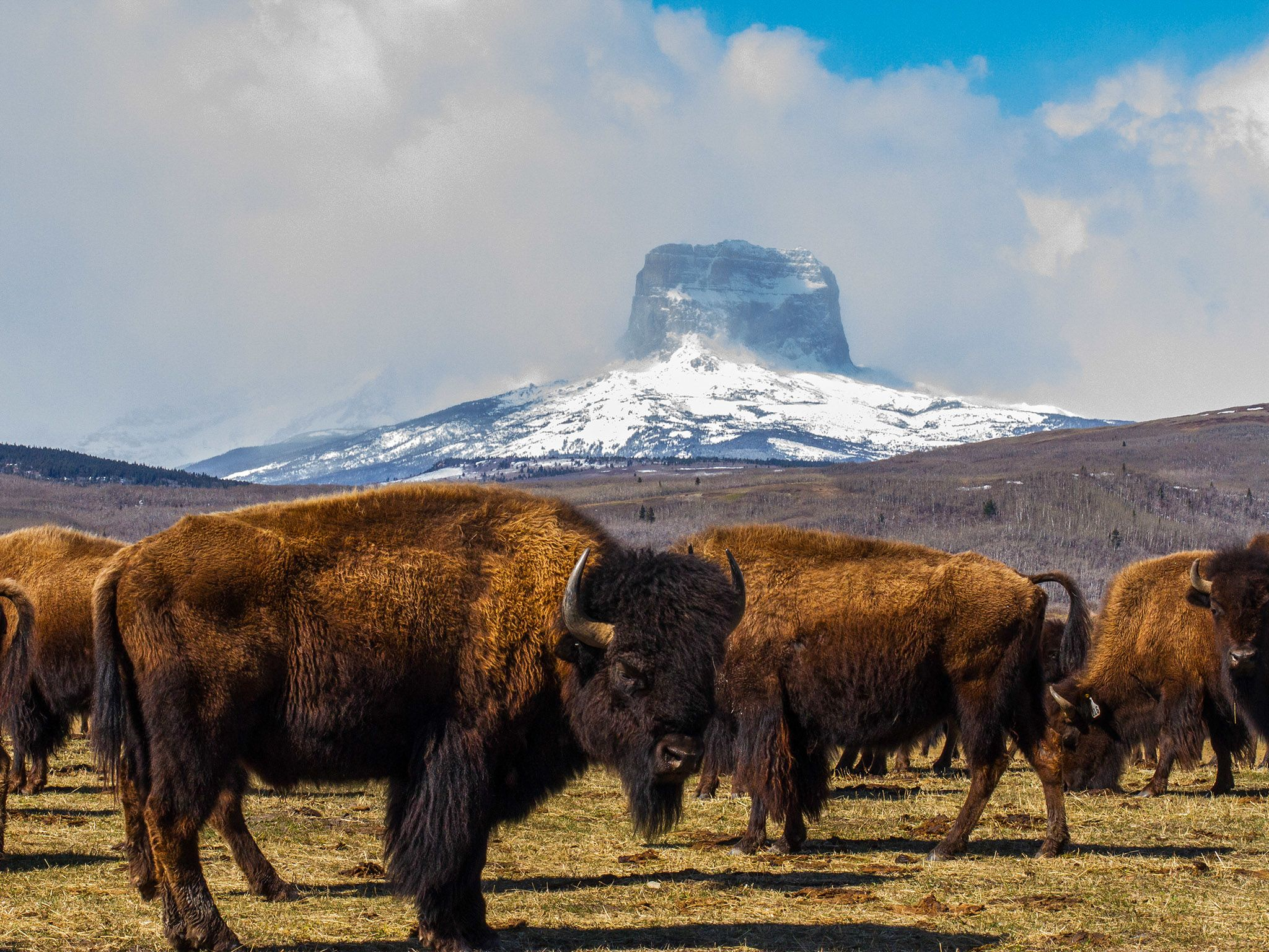 Buffalo herd in front of Castle Mountain. This image is from Wild Canada. [Photo of the day - اکتوبر 2014]