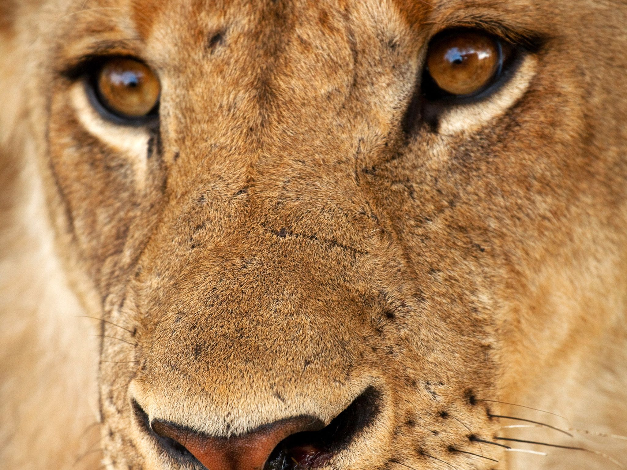 Young lion face. Young males are expelled from the pride by the age of three. This image is from ... [Photo of the day - October, 2014]