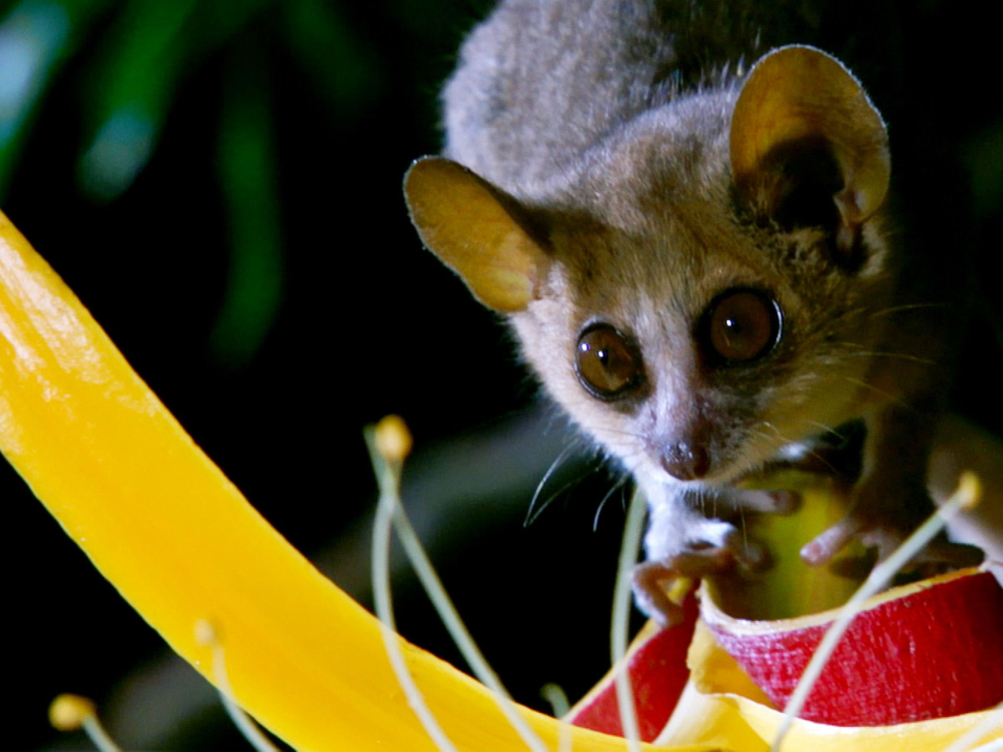 The mouse lemur weighs less than 60 grams.  This image is from Secrets of the Wild. [Photo of the day - اکتوبر 2014]