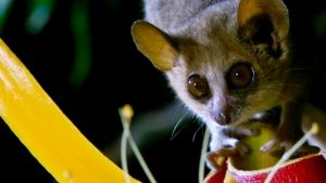 The mouse lemur weighs less than 60 g... [Dagens foto - 23 OKTOBER 2014]