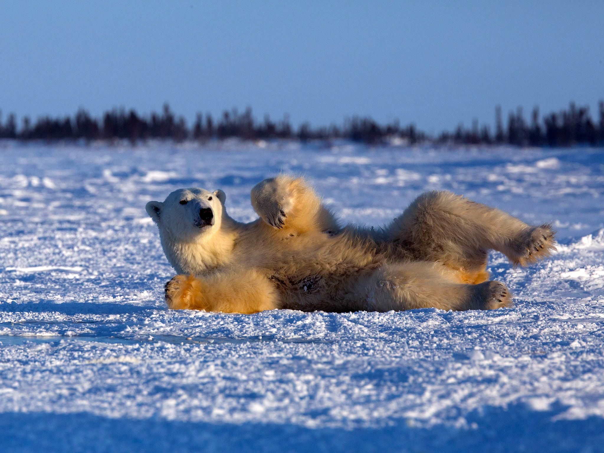 Mother polar bear rolling in snow. This image is from Wild Canada. [Photo of the day - اکتوبر 2014]