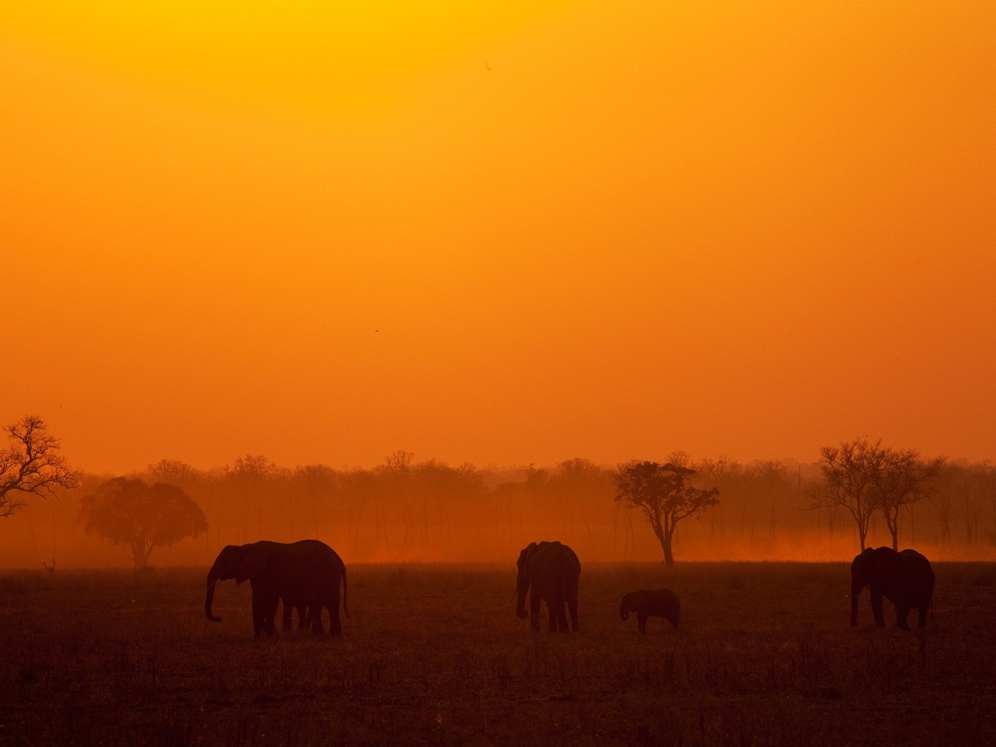Elephant herd silhouette in sunset (landscape). Elephant herds tend to head for water during the... [Photo of the day - اکتوبر 2014]