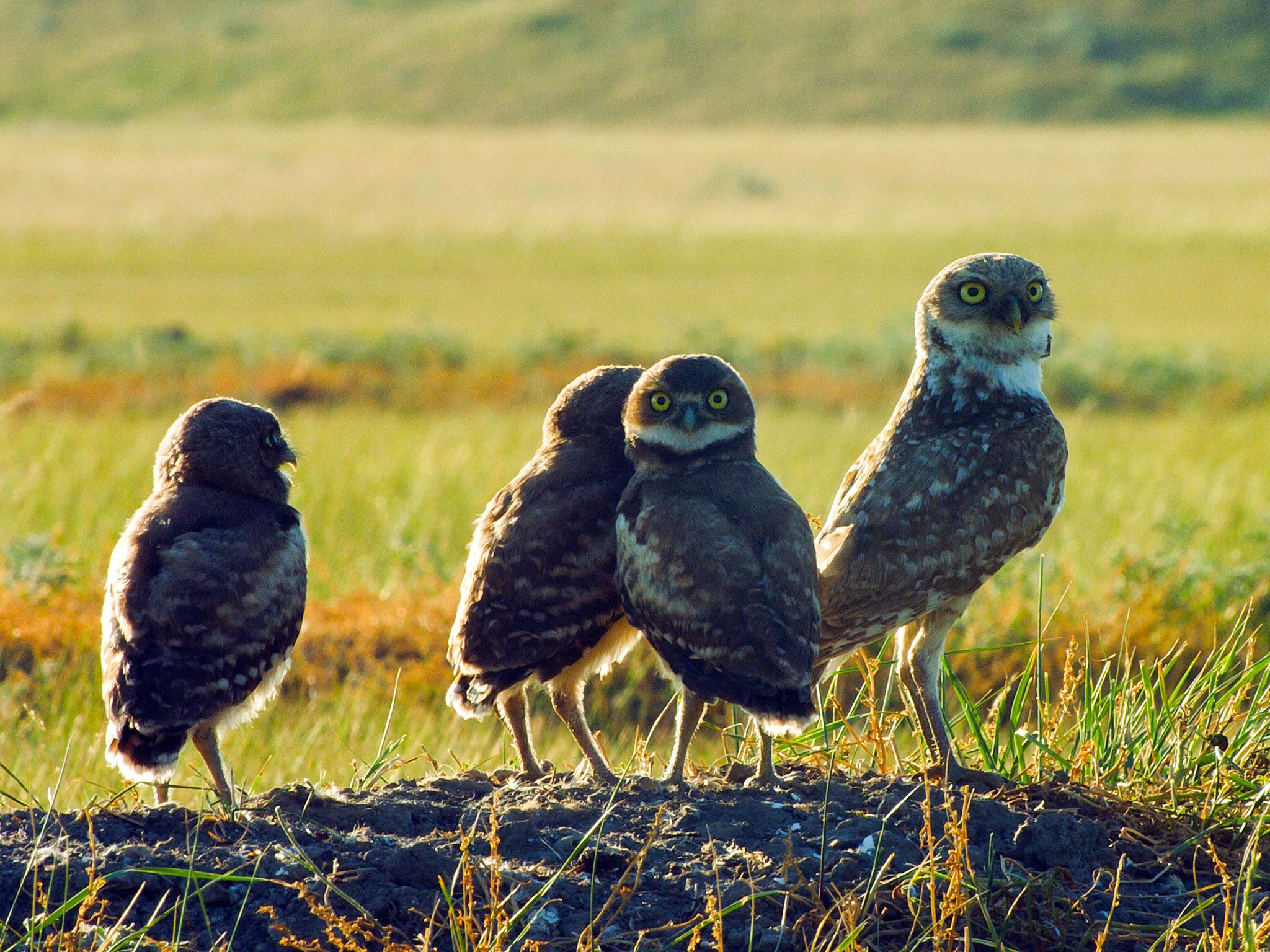 Burrowing owl adult and 3 chicks. This image is from Wild Canada. [Photo of the day - اکتوبر 2014]