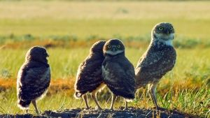 Burrowing owl adult and 3 chicks. Thi... [Dagens foto - 30 OKTOBER 2014]