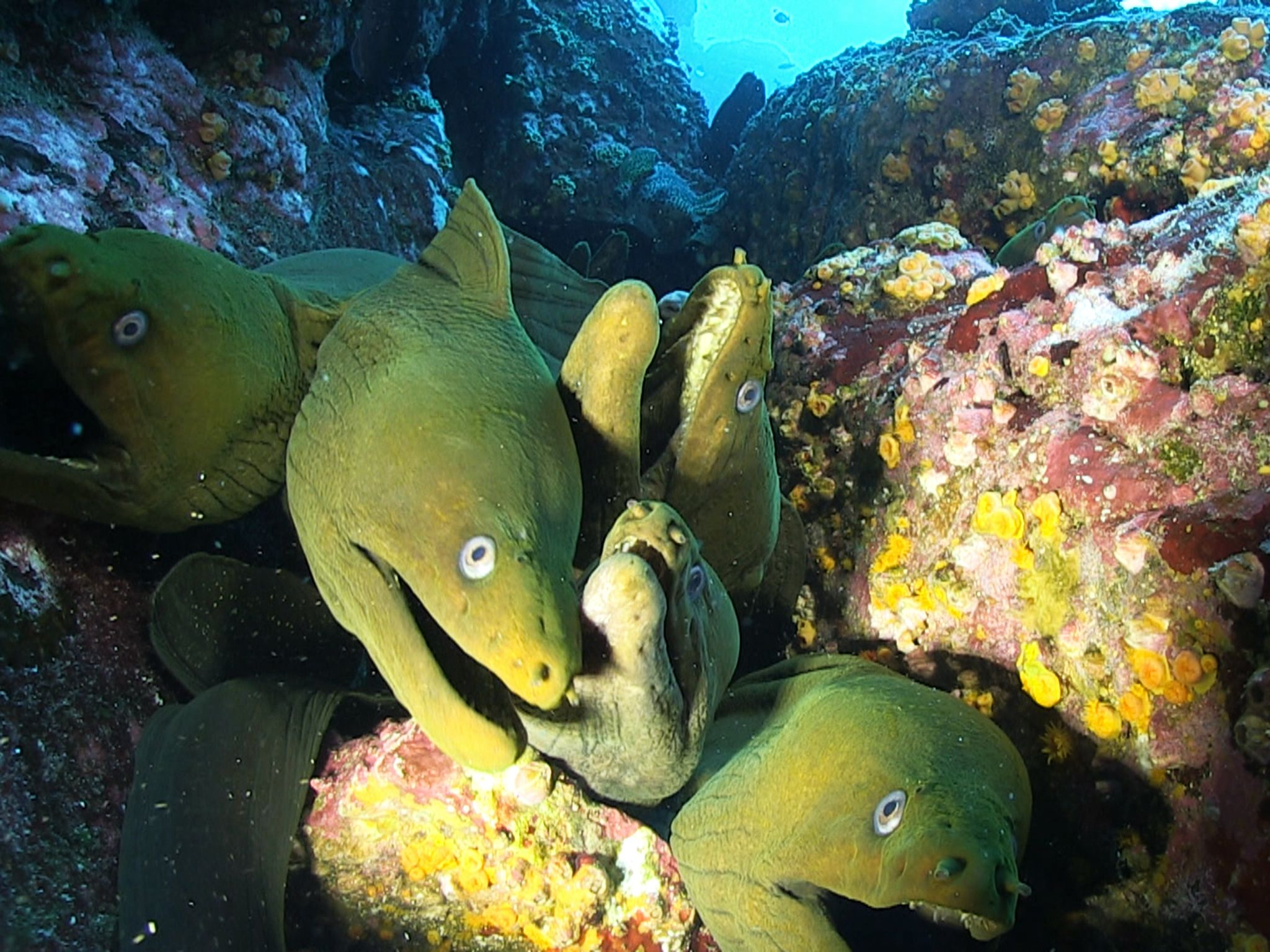 Socorro: Moray eels are carnivores and their diet consists mainly of other fish or cephalopods, a... [Photo of the day - Novembro 2014]
